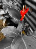 Planta vermelha bonita e decorativa da flor fotos de stock royalty free