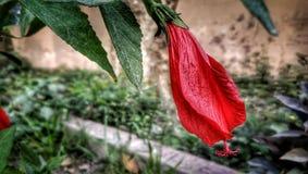 Planta vermelha das flores do arboreus do Malvaviscus fotografia de stock
