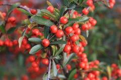 Planta vermelha do espinho Imagem de Stock