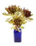 Planta vermelha do Succulent Imagens de Stock Royalty Free
