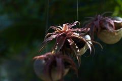 Planta vermelha pequena no vaso de flores de suspensão Fotografia de Stock