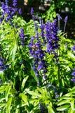 Planta violeta con el vuelo de la abeja en él que florece Imagenes de archivo