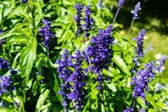Planta violeta con el vuelo de la abeja en él que florece Fotografía de archivo libre de regalías