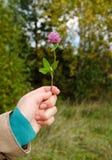 A planta violeta da flor do trevo da posse da mão da mulher sae Imagens de Stock