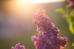 Planta violeta púrpura de la flor de la lila foto de archivo