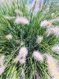 Planta Wispy II Foto de Stock Royalty Free