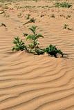 Planta Xerophytic no deserto de Namib arenoso. Fotos de Stock Royalty Free