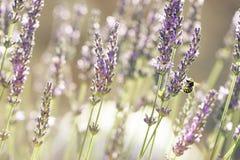 Planta y abeja de Lavander Fotografía de archivo libre de regalías