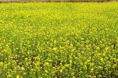 Planta y flor de la mostaza fotos de archivo libres de regalías