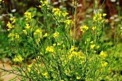 Planta y flor de la mostaza en un jardín foto de archivo