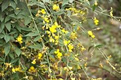 Planta y flor indias de guisante de paloma fotos de archivo libres de regalías