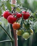 Planta y fruta de tomate de cereza Foto de archivo libre de regalías