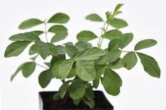 Planta y hojas del regaliz frescas Imagen de archivo libre de regalías