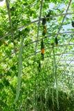 Plantaardig soort pompoen en momordica Royalty-vrije Stock Foto's