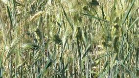 Plantaardige achtergrond van installaties van het graangewassen de gele graangewas stock footage