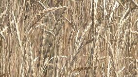 Plantaardige achtergrond van installaties van het graangewassen de gele graangewas stock videobeelden