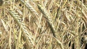 Plantaardige achtergrond van installaties van het graangewassen de gele graangewas stock video