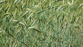 Plantaardige achtergrond van installaties van het graangewassen de groene graangewas stock footage