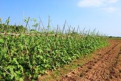 Plantaardige gewassen Stock Foto's