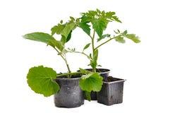 Plantaardige installatie in pot stock afbeelding
