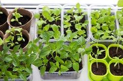 Plantaardige seedligs binnen Royalty-vrije Stock Foto