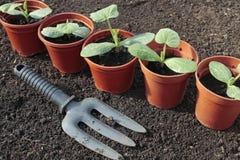 Plantaardige zaailingen die in potten in de lente groeien Royalty-vrije Stock Foto's