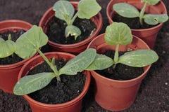 Plantaardige zaailingenclose-up in potten stock afbeeldingen