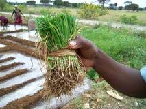 Plantación Foto de archivo
