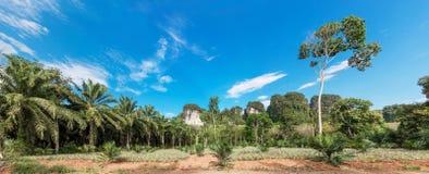 Plantación africana de la palma de aceite en Tailandia Imagen de archivo libre de regalías
