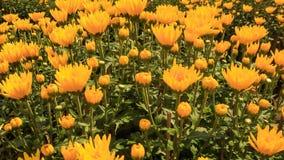 Plantación amarilla de los crisantemos del primer en Vietnam almacen de metraje de vídeo