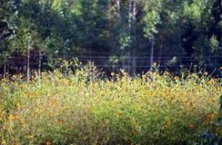 Plantación amarilla del cosmos para suministrar la producción de la miel Fotografía de archivo