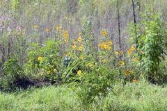 Plantación amarilla del cosmos para suministrar la producción de la miel Foto de archivo