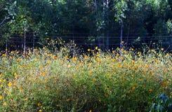 Plantación amarilla del cosmos para suministrar la producción de la miel Imagen de archivo