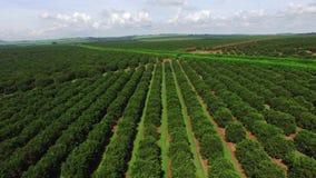 Plantación anaranjada en el día soleado - visión aérea en el Brasil metrajes