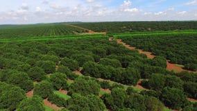 Plantación anaranjada en el día soleado - visión aérea en el Brasil almacen de video