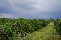 Plantación anaranjada en Sicilia, Italia imagen de archivo libre de regalías