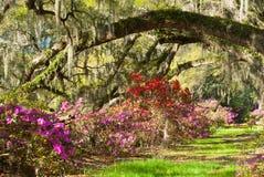Plantación colorida de Charleston de los robles vivos de la azalea foto de archivo