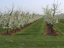 Plantación con los árboles frutales florecientes Imagen de archivo