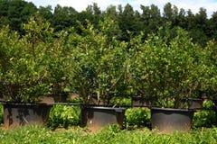 Plantación con los blueberrys al selfpicking Imágenes de archivo libres de regalías