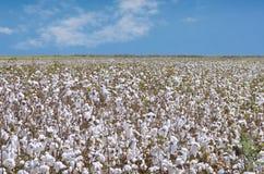 Plantación de algodón para el uso industrial Imágenes de archivo libres de regalías