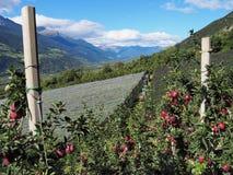 Plantación de Apple en el Valle Venosta fotografía de archivo libre de regalías