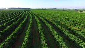 Plantación de café aérea en el sao Paulo State - el Brasil almacen de video