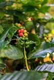 Plantación de café cerca de Las Terrazas Fotografía de archivo