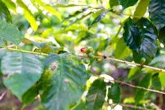 Plantación de café cerca de Las Terrazas Foto de archivo