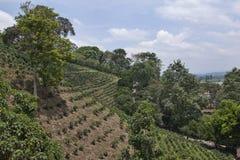 Plantación de café colombiana Fotos de archivo libres de regalías