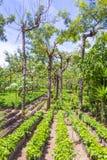 Plantación de café de Guatemala Fotos de archivo