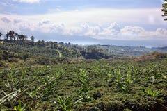 Plantación de café de Rican de la costa Imagenes de archivo