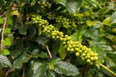 Plantación de café en el lat de DA, Vietnam Fotografía de archivo libre de regalías