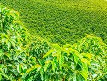 Plantación de café en Jerico, Colombia fotografía de archivo