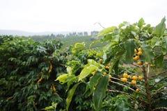 Plantación de café en la ciudad rural de Carmen de Minas Brazil Imagen de archivo